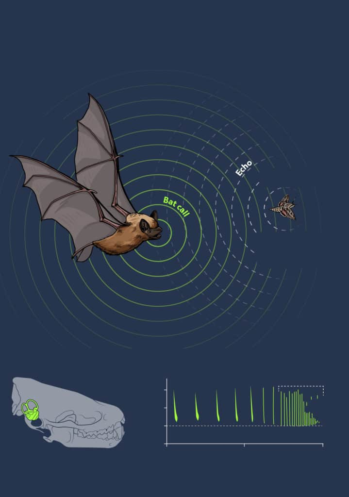 How do bats use echolocation? This illustration depicts how echolocation works.