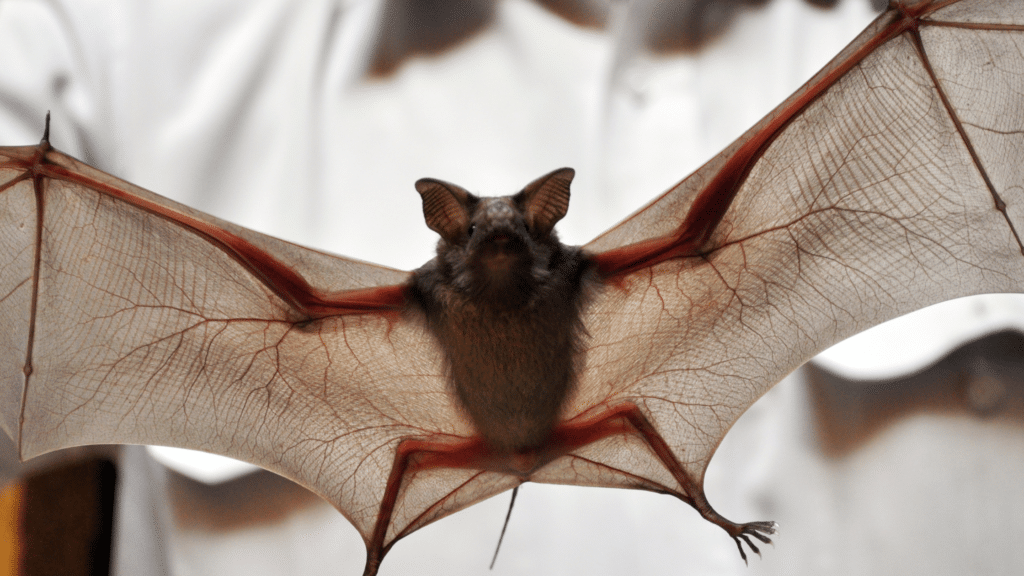 How many species of bats are there? A small brown bat with its wings open.