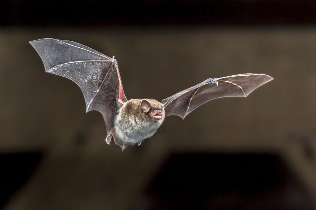 Are bats blind? No they are not. Instead they use echolocation. Here is a bat in flight suing echolocation to fly safely and hunt.